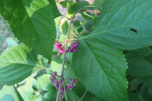 beautyberry turning sept4.15.