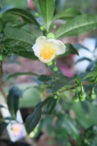 camellia tea - sept30.15 (3)