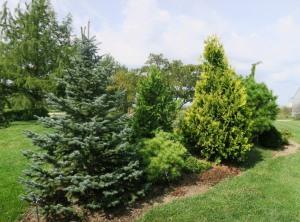 conifers kc.151
