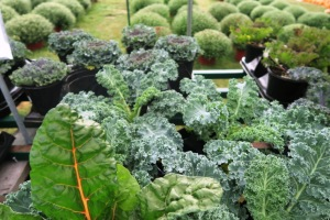 fall kale and cabbage (2)