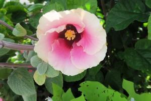 hardy hibiscus.kc (1)