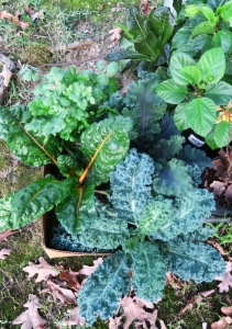 kale and chard sept30.15.