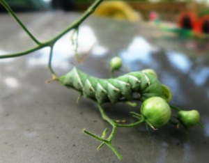 tomato hornworm sept.15.1