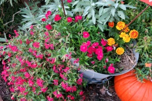 cuphea,dianthus and marigold sept30.15.