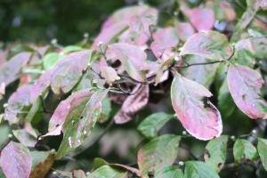 dogwood flower buds oct.15
