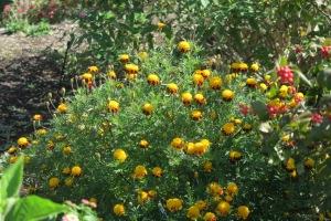 marigold.oct.15.