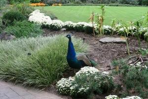 peacock garvan (1)