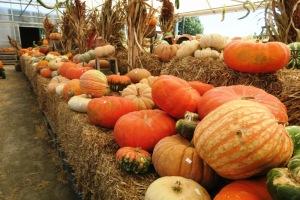 pumpkins.15