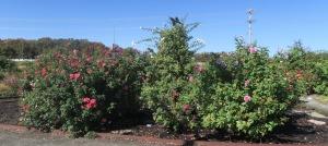 roses legacy garden.oct15.1