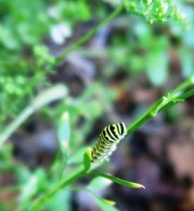 swallowtail caterpillars.oct1.15.2