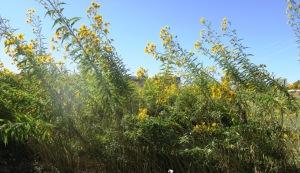 swamp sunflower.oct.15