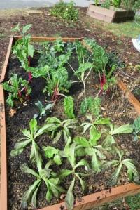 veg garden oct4 (1)