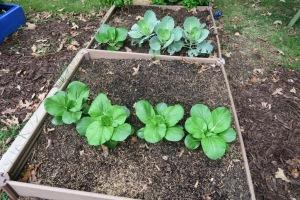 veg garden oct4 (3)