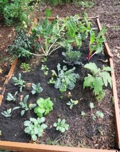 veg garden oct4 (6)