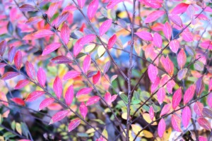 crape myrtle fall color.nov.13.`5