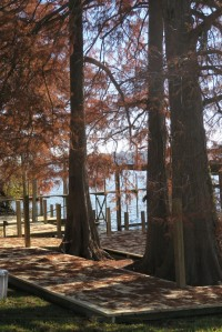 bald cypress dec.8151