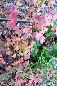 blueberry fall color.dec.4.15