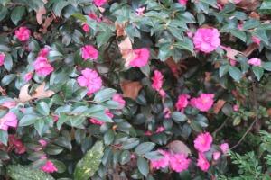 camellia dec18.15