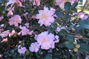 camellias eudora.dec8.155