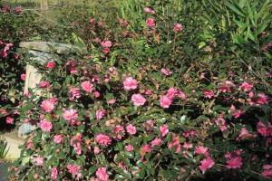 camellias eudora.dec8.157