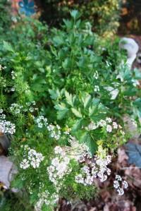coriander and parsley.dec22 (1)