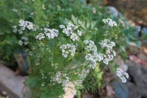 coriander and parsley.dec22 (2)