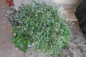 euphorbia diamond frost. dec8.15