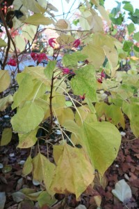 fall color.clereodendron.dec3 (2)