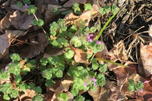 henbit blooming dec16.15