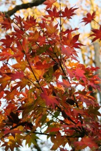 jap maple dec4 (1)