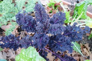 kale purple dec.18.15