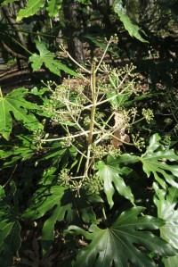 fatsia seed pods jan29 (2)