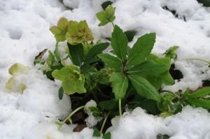 helleores snow.jan16.162
