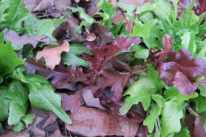 lettuce.jan16 (2)