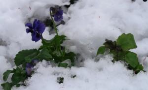pansies snow jan16.16