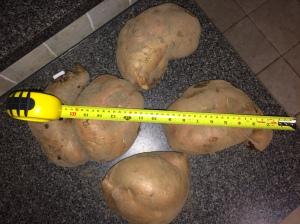 sweet potatoes large. jan16.