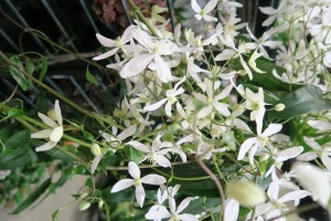 clematis afgs (1)