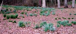 daffodils feb16 (8)
