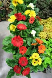 gerbera daisies afgs.16
