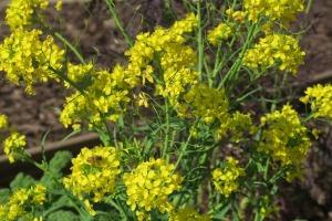 mustard blooms. feb29 (3)