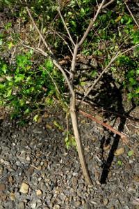 abelia pruning.16