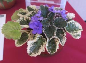 african violets franklin (2)
