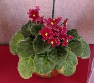 african violets franklin (3)