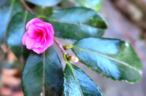 camellias march 3 (1)