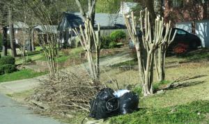 craper myrtles.pruned.mar16 (1)