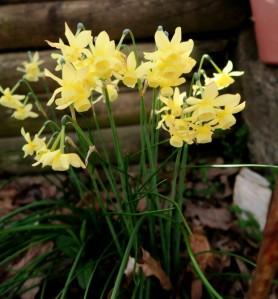 daffodil late. mar16.