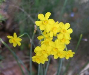 daffodils. adams.my yard.16