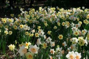 daffodils garvan (1)