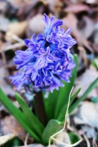 hyacinths.16 my (1)