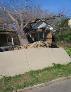 tree fallen over (4)